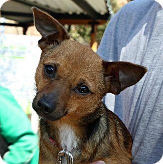 Durham Nc Chihuahua Feist Mix Meet Rena A Dog For Adoption