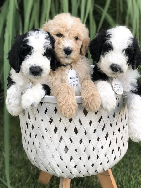 Sheepadoodle Puppy Price Reduced Sheepadoodle Puppy Sheepadoodle Puppies