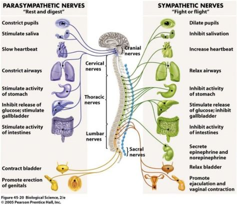 Parasympathetic Division: Conserves bodily resources Sympathetic Division: Mobilizes bodily resources Both part of Autonomic Nervous System in the Peripheral Nervous System Nervous System Anatomy, Diaphragmatic Breathing, Nursing School Notes, Nursing Exam, Nursing Tips, Vagus Nerve, Autonomic Nervous System, Pharmacology Nursing, Human Anatomy And Physiology
