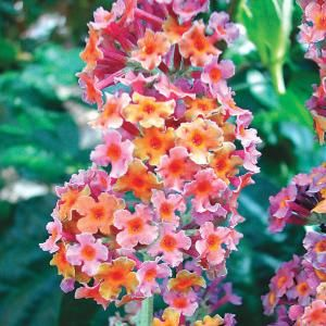 Spring Hill Nurseries Kaleidoscope Butterfly Bush Potted Plant 76491 The Home Depot Butterfly Bush Spring Hill Nursery Container Gardening Flowers
