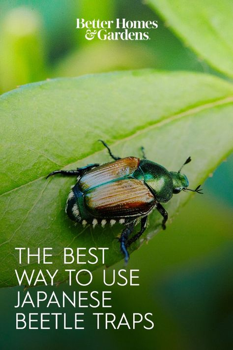 Some experts and researchers say these devices aren't necessarily the best way to keep Japanese beetles at bay. In fact, a trap could even make your pest problem worse. #japanesebeetles #japanesebeetletraps #gardenpests #gardening #bhg