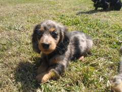 Miniature Dachshund Dapples Puppies For Sale Kyogle New South