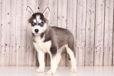 Siberian Husky Puppy For Sale In Mount Vernon Oh Adn 52098 On