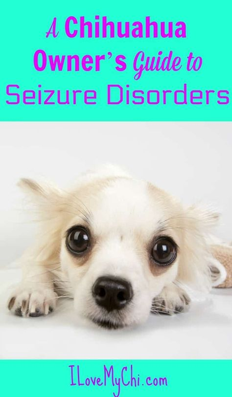 A Chihuahua Owner S Guide To Seizure Disorders Dog Seizures