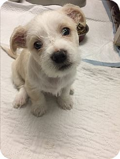 Brea Ca Maltese Cairn Terrier Mix Meet Sully A Puppy For