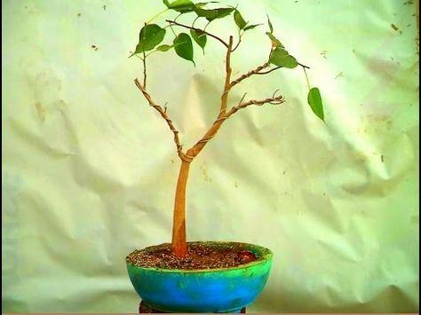 How To Re Pot A Ficus Religiosa Bonsai Pal Bodhi Tree Novembe Mammal Pinterest And