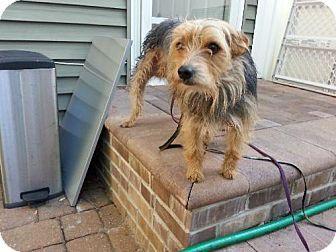 Lexington, KY, KY - Yorkie, Yorkshire Terrier/Wirehaired Fox ...