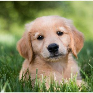 Golden Retriever Puppy Wallpaper With Images Golden Retriever