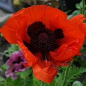 Scarlett O Hara Mohnblume Blumen Mohn