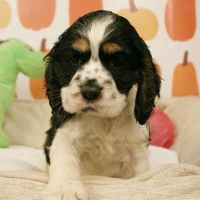 Cocker Spaniel Spaniel Puppies For Sale Spaniel Puppies Cocker