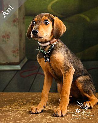Ottawa Ks Hound Unknown Type Meet Ant A Dog For Adoption