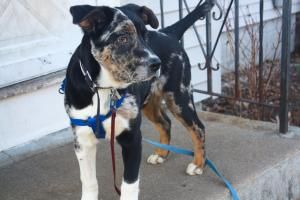 Adopt Hector On Dogs Animals Great Dane Mix