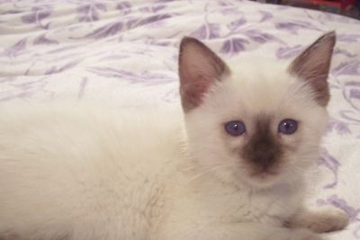 Traditional Siamese Lynx And Balinese Kittens For Sale Cats Siamese Cats Siamese Kittens Cats