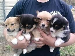 Pembroke Welsh Corgi Puppies For Sale Brisbane Welsh Corgi