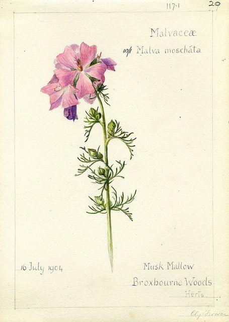Malva moschata, Herts. 1904 by peacay, via Flickr
