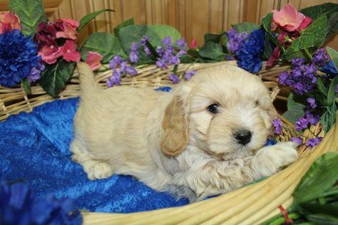 Cavachon Puppy For Sale In Tacoma Wa Adn 64138 On Puppyfinder