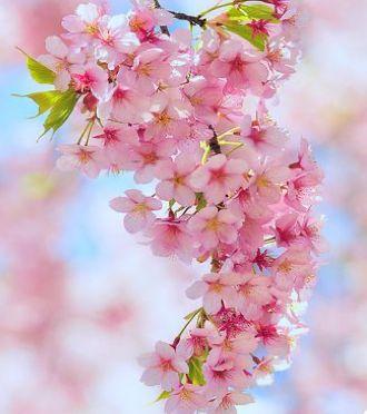 Pin By Kim Corser Pavitt On So Pretty Blossom Trees Pink Trees Cherry Blossom Tree