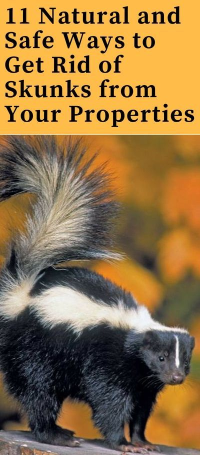 How To Get Rid Of Skunks Fast From Garden And Yard Best Repellent For Keep Away Skunks How To Repel Pests Getting Rid Of Skunks Skunk Repellent Skunk Smell