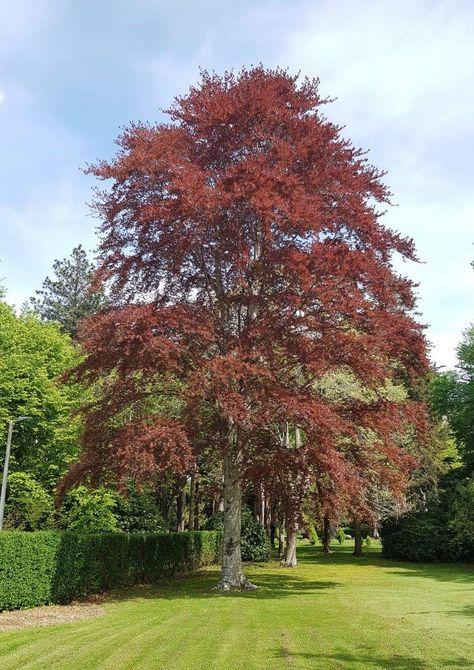 Copper Beech Tree – Fagus Sylvatica 'Purpurea' This 400 x 300