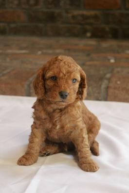Mini Goldendoodle Puppies For Sale Lancaster Puppies