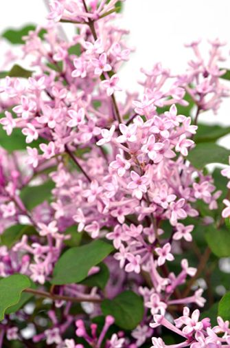 Syringa Boomerang Pink Perfume Relatively Compact Repeat Flowering Lilac With Pale Pink Flowers Afflink Pink Perfume Syringa Lilac Flowers