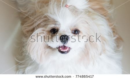 Dog Shih Tzu Sitting On The Floor Panting 7 Month Isolated On