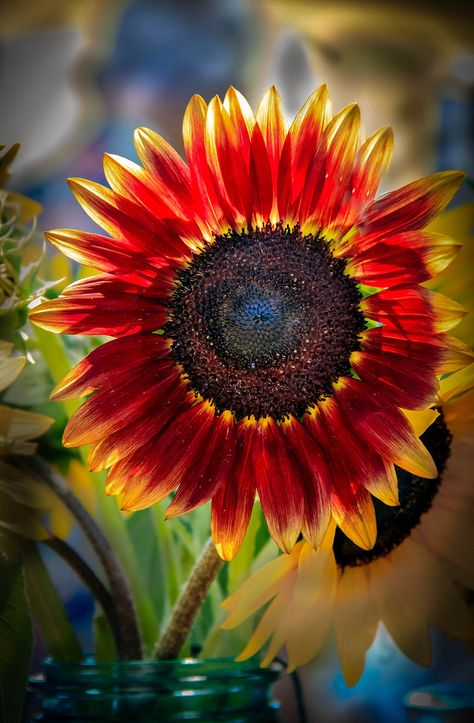 That red sunflower is so beautiful. I feel like I have fell in love with a new flower.