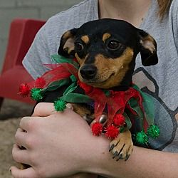 Pictures Of Kate A Dachshund For Adoption In Phoenix Az Who Needs