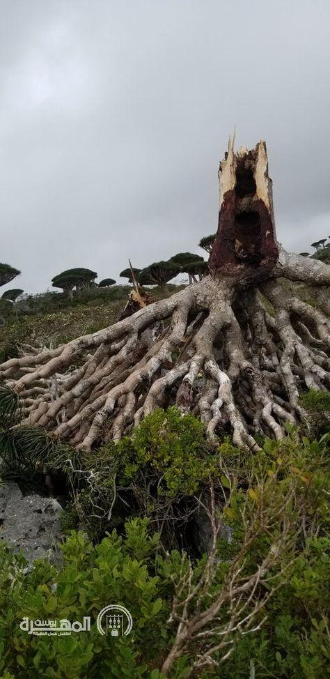 شاهد شجرة دم الاخوين من ضحايا إعصار مكونو في سقطرى صورة المهرة بوست Outdoor Water Meat Jerky