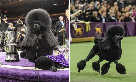 Westminster Dog Show Winner Chowed Down On A Mcdonald S Before Win