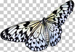Monarch Butterfly Greta Oto Png Clipart Blue Blue Butterfly Bluegreen Brush Footed Butterfly Butterflies Free Wings Png Butterfly Lighting Blue Butterfly