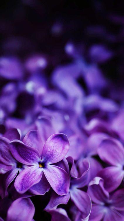 Antique Passion Purple Flowers Purple Wallpaper Best Nature Wallpapers Best of purple flowers wallpaper for