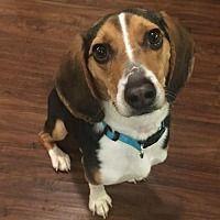 Pin By Pets Zone On Beagle Pets Beagle Dog Adoptable Beagle