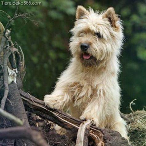 Atemberaubende Cairn Terrier Welpen