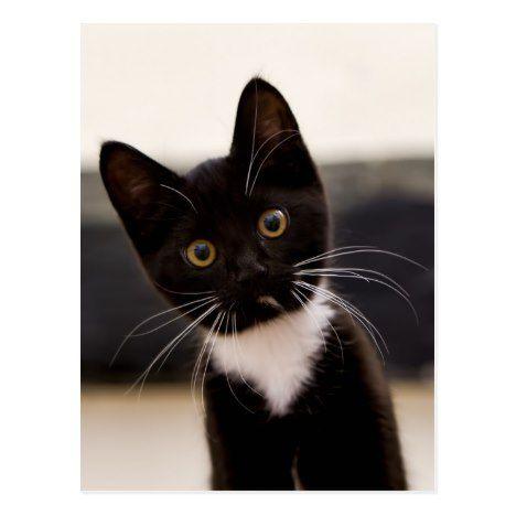 Cute Black And White Tuxedo Kitten Postcard Zazzle Com Tuxedo Kitten Black And White Kittens White Cats