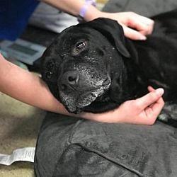 New York Ny Labrador Retriever Meet Hunter A Pet For Adoption Labradorretriever Labrador Retriever Pet Adoption Dogs Up For Adoption