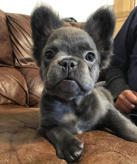 Long Haired Blue French Bulldog Puppy What! They come with long hair too!