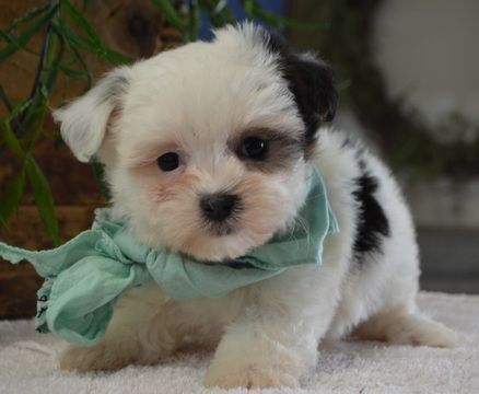 Teacup Maltese Puppies For Sale Dogs Videos Tiny