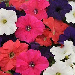 Geraniums Balcony Container Gardening In 2020 Flower Seeds Petunia Flower Petunia Plant