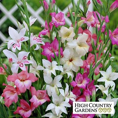These Smaller Growing Gladiolus Are Cold Hardy To Zone 5 When Well Mulched For Winter The Mixture Of Pink White And Gladiolus Gladiolus Bulbs Bulb Flowers