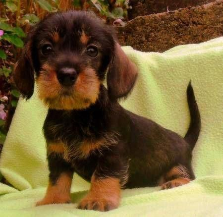 All The Things We Like About The Vigilant Daschund Puppy