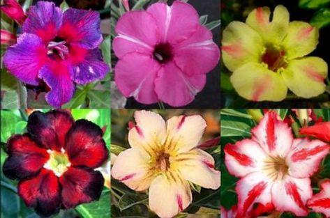 Adenium Obesum Desert Rose - Young Healthy Plants - Great Pre Bonsai Houseplant