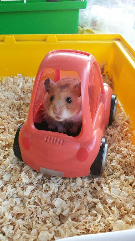 Tagged with aww, hamsters, bakedascake, angryhamster; Shared by I found a lot of hamster pictures on my phone this morning. Hamster Foto, Hamster Life, Hamster Cages, Hamster Habitat, Baby Animals Pictures, Cute Animal Photos, Funny Animal Pictures, Animals And Pets, Animals Images
