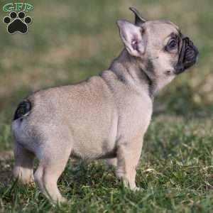 Suzie French Bulldog Puppy For Sale In Pennsylvania Bulldog