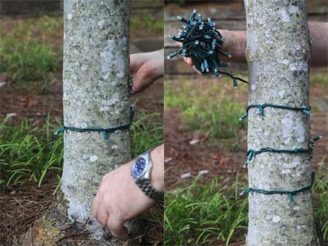 Learn how to professional wrap an outdoor tree with Christmas lights.