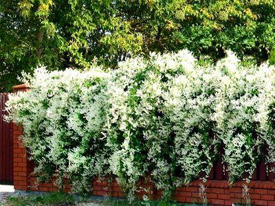 Gigantyczne Pnacze Fallopia Rosnie 6 Metrow Na Rok Plants