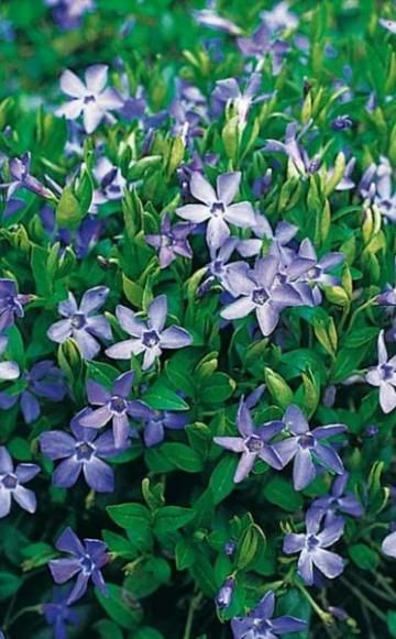 Bodendecker zurückschneiden -  Bodendecker sind beliebt an schattigen Stellen, als Unterpflanzung oder Unkrautsperre. Manche Bodendecker sollte man allerdings gleich nach dem Pflanzen stark schneiden, damit der Pflanzenteppich schön dicht wird