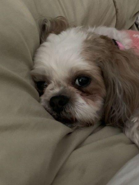 Shih Tzu Dog For Adoption In Bradfordwoods Pennsylvania Penny In Bradfordwoods Pennsylvania Dog Adoption Shih Tzu Dog Shih Tzu