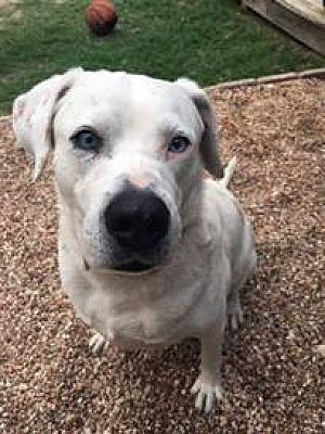 Austin Tx Boxer Meet Boo A Pet For Adoption Pet Adoption