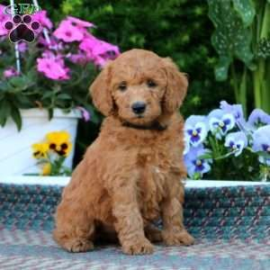 Mini Goldendoodle Puppies For Sale Mini Goldendoodle Puppies Goldendoodle Puppy Goldendoodle
